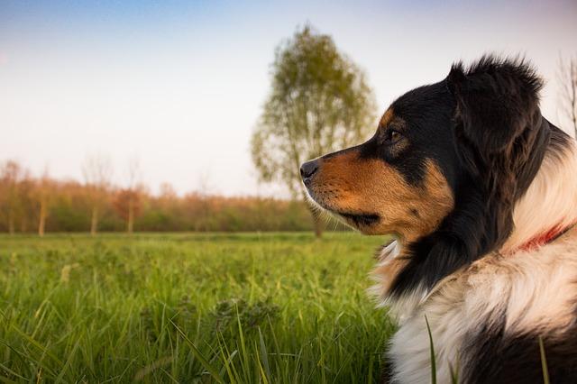 הכשרת מאלפי כלבים